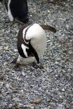 Pingouin de Magellanic se toilettant sur une île rocheuse près d'Ushuaia, Argentine Photographie stock