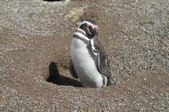 Pingouin de Magellanic sur le sable Image stock