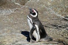 Pingouin de Magellanic sur un rivage Images libres de droits