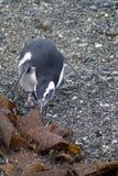 Pingouin de Magellanic sur une île rocheuse près d'Ushuaia, Argentine Photos stock