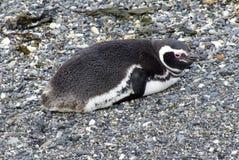 Pingouin de Magellanic sur une île rocheuse près d'Ushuaia, Argentine Photographie stock