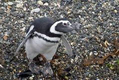 Pingouin de Magellanic sur une île rocheuse près d'Ushuaia, Argentine Photographie stock libre de droits