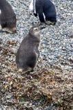 Pingouin de Magellanic sur une île rocheuse près d'Ushuaia, Argentine Image stock