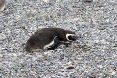 Pingouin de Magellanic sur une île rocheuse près d'Ushuaia, Argentine Photo stock