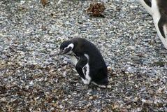 Pingouin de Magellanic sur une île rocheuse près d'Ushuaia, Argentine Images stock