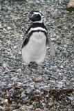 Pingouin de Magellanic sur une île rocheuse près d'Ushuaia, Argentine Photo libre de droits