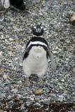 Pingouin de Magellanic sur une île rocheuse près d'Ushuaia, Argentine Photos libres de droits