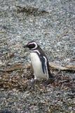 Pingouin de Magellanic sur une île rocheuse près d'Ushuaia, Argentine Image libre de droits