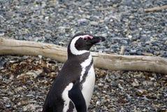 Pingouin de Magellanic sur une île rocheuse près d'Ushuaia, Argentine Images libres de droits