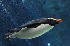Pingouin de natation Photo libre de droits