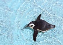 Pingouin de natation Photographie stock libre de droits