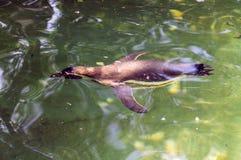 Pingouin de natation dans le zoo de Berlin images stock