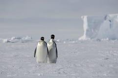 pingouin de paires Photo libre de droits