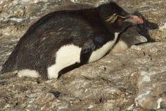 Pingouin de Rockhopper avec le poussin Photographie stock libre de droits