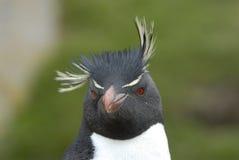 Pingouin de Rockhopper en Falkland Island Photo libre de droits