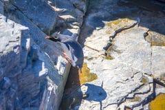 Pingouin de Rockhopper sautant à cloche-pied roche de nouveau à la colonie Photographie stock