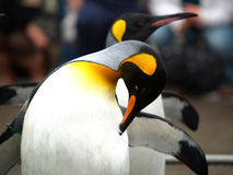 Pingouin de roi photos stock