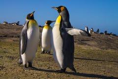 pingouin de roi Photographie stock