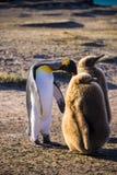 pingouin de roi Images libres de droits