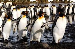 pingouin de roi photos libres de droits