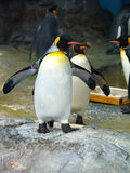 pingouin de roi photo stock