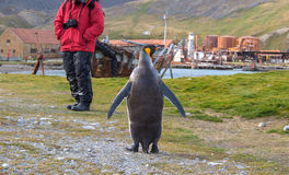 Pingouin de roi et touriste simples de croisière dans Grytviken, la Géorgie du sud Photographie stock libre de droits