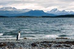 Pingouin de roi marchant sur le rivage près d'Ushuaia, montagnes à l'arrière-plan Image stock