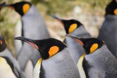 Pingouin de roi triple photos libres de droits