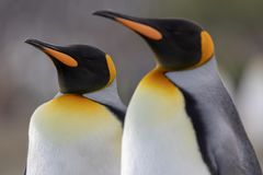 pingouin de roi Un plan rapproché d'une tête de pingouin de roi photo stock