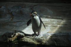 Pingouin du nord de rockhopper (moseleyi d'Eudyptes) Photos libres de droits