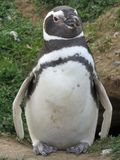 Pingouin en Isla Magdalena, piment Image stock