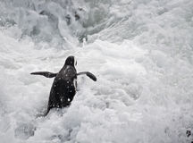 Pingouin en mer agitée Photographie stock