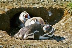 Pingouin et nanas de mère Images libres de droits