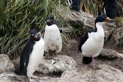 Pingouin et tapis à longs poils du sud de Rockhopper dans l'herbe de tussac photo libre de droits