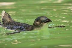 Pingouin féerique Image libre de droits