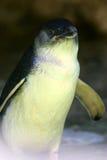 Pingouin féerique Photo libre de droits