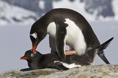 Pingouin femelle et masculin Gentoo pendant Photos stock
