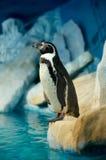 Pingouin Humboldti Photos stock