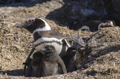 Pingouin Magellan Photos libres de droits