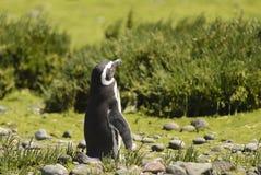 Pingouin Magellan Photo libre de droits