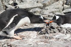 Pingouin masculin de Gentoo qui fixe la pierre dans le nid où Photo stock
