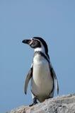 Pingouin mignon Images libres de droits