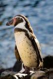 pingouin mignon image libre de droits