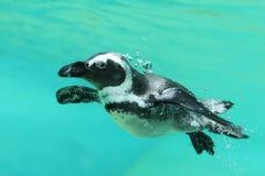 pingouin Noir-aux pieds Photos libres de droits