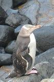 Pingouin observé par jaune Photo stock
