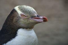 Pingouin observé par jaune images libres de droits
