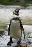 Pingouin péruvien Photos libres de droits