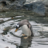 Pingouin prenant un bain Image stock
