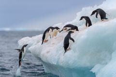 Pingouin sautant Un Adelie et un x28 ; Adélie& x29 ; le pingouin saute dessus à un iceberg photographie stock libre de droits