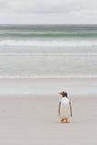 Pingouin seul de gentoo photos libres de droits